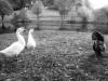 rachel-geese